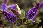Hebe violeta — Foto de Stock