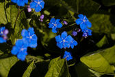 Forget me nots flowers — Stock Photo