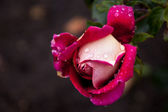 Rose with rain drops — Stock Photo