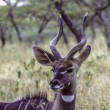 Antelope at Lake Tana Ethiopia Africa - Stock Photo