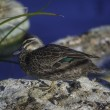 Stock Photo: Grey Teal in Perth Western Australia