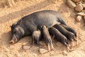 Pig feeding piglets — Stock Photo