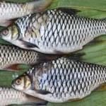 Fresh fish of the Mekong river — Stock Photo