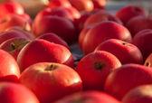 Autumn apples - — Stock Photo