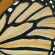 Stock Photo: Butterfly wing