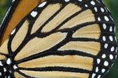 Ala di farfalla — Foto Stock