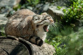 Manul — Stock Photo