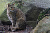 Felis silvestris or eupopean wildcat — Stock Photo