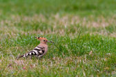 Hoopoe or upupa — Stockfoto