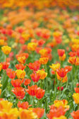 Field of tulips — Stock Photo