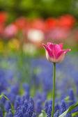 Field of tulips — Stock Photo