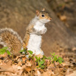 Постер, плакат: Grey squirrel in the park