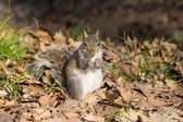 Grey squirrel eating nut — Stock Photo