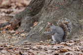 Grey squirrel eating nut — Stockfoto
