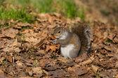 Grijze eekhoorn eten moer — Stockfoto