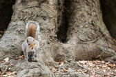 Grey squirrel in the park — Stockfoto