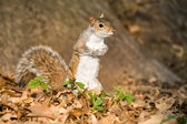 Grey squirrel in the park — Stock Photo