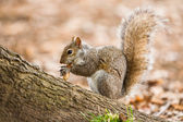 Grey squirrel eating nut — Stok fotoğraf