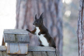 Squirrel Sciurus vulgaris — Stock Photo