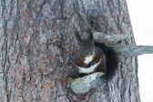 Squirrel Sciurus vulgaris — Stockfoto