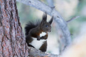 Squirrel Sciurus vulgaris — Stock fotografie