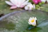 Pink water lily flower — Stock fotografie