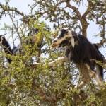 Goats in the argan tree — Stock Photo