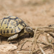 Spur-thighed tortoise (testudo graeca) — Stock Photo