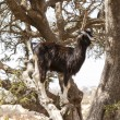 Goats in the argan tree — Stock Photo