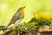 Robin bird — Stock Photo