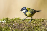 Great tit bird — Stock Photo