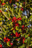 Holly Ilex aquifolium — Stock Photo