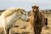 Icenlandic horses — Stockfoto