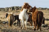 Icenlandic horses — Stok fotoğraf