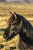 Island kůň — Stock fotografie