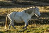 Iceland horse — Stock fotografie