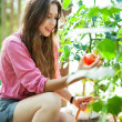 Woman picking fresh tomatoes — Stock Photo #27261707