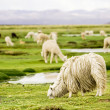 Alpacas, Peru — Stock Photo