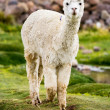 Stock Photo: Alpaca, Peru