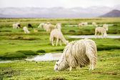 Alpacas, Peru