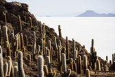 Huge Cactus on salt desert, Salar de Uyuni, Bolivia. — Stock Photo