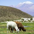 Stock Photo: Llamas, Bolivia