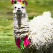 Stock Photo: Llama, Bolivia