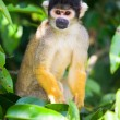 Stock Photo: Squirrel monkey, Bolivia
