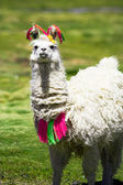 Llama, Bolivia — Stock Photo