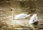 Swan in evening light — Stock Photo