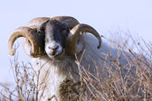 Male sheep with curled horns — Stock Photo