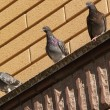 Three pigeons on the roof — Stock Photo