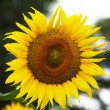 Sunflower in focus — Stockfoto