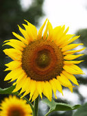 Sunflower in focus — Stock fotografie
